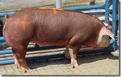 Live Hog