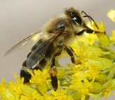 693px-Carnica_bee_on_solidago