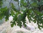 Q gxk hybrid leaves