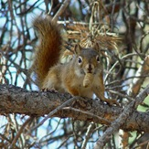 Red Squirrel1