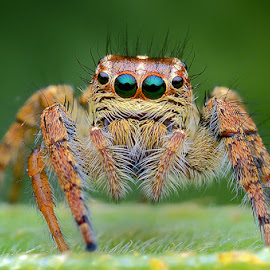 Jumping Spider by Chee Yeow Lim - Animals Insects & Spiders