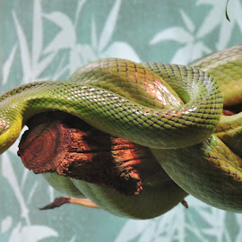 by Nigel Nicholas - Animals Reptiles