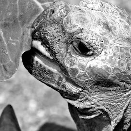 Graceful by Michael Brown - Animals Reptiles ( tortoise, black and white, reptile, graceful )