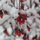 Burning Bush (Winter)