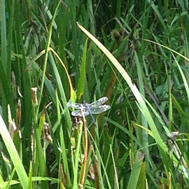 Dragonfly by Jacki Barber - Novices Only Wildlife ( novice, outdoors, wildlife, insects, pond,  )