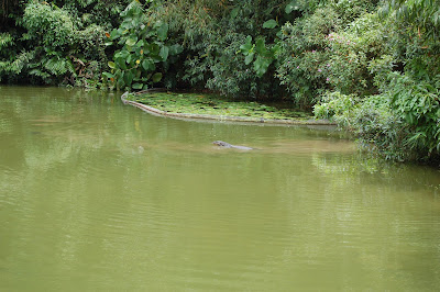 Monitor lizard swimming