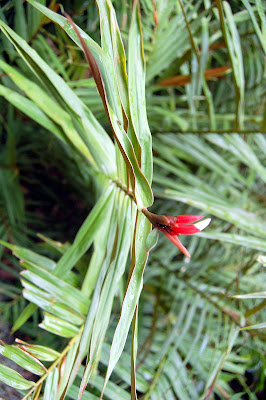 Alpinia lento carpa (Bamboo ginger)