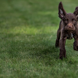 Dog by Ivan Zdravkov - Animals - Dogs Puppies ( #running, #dog, #grass, #animal, #puppy )