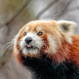 Sticking his tongue out by Carol Plummer - Animals Other Mammals ( red panda )