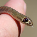 Baby Yellow-faced Whip Snake