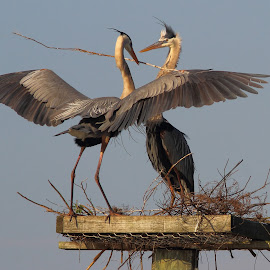 Early Morning Delivery by Sandra Blair - Animals Birds ( great blue heron, bird, flying, wading bird, wings, nest, wader, heron,  )
