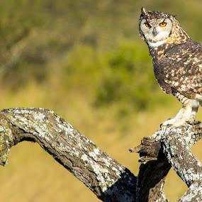 Owl by Malcolm Duke - Animals Birds ( canon, bird, bird of prey, nature, south africa, natal, owl, pietermaritzburg, canon 60d,  )