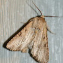 Cutworm or Dart Moth