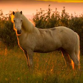 Derringur by Anna Guðmundsdóttir - Animals Horses ( derringur, icelandic horse, horse, hestur, íslenskur hestur )