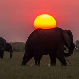 Chobe Elephant by Dave Gale - Animals Other Mammals ( chobe, botswana sunset, sunset, silhouette, elephant, , golden hour, sunrise )