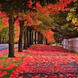 by Todd Klingler - City,  Street & Park  Neighborhoods ( orange, oregon, picket, colors, neighborhood, leaf, leaves, gate, fence, red, tree, autumn, fall, trees, sidewalk )