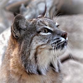 Arizona Bobcat by Elaine Malott - Animals Lions, Tigers & Big Cats ( cats, wildcats, bobcats, animals, big cats, nature, wildlife, felines )