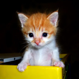 Kitten in crate by Hrodulf Steinkampf - Animals - Cats Kittens ( cat, kitten, ginger, cat in crate, cat in box, feline, cute )