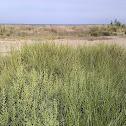 Salicòrnia