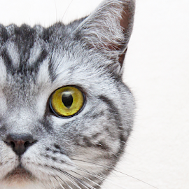 Inquisitive by Mia Ikonen - Animals - Cats Portraits ( curious, beautiful, finland, expressive, british shorthair )