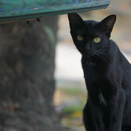 Black Javanese Cat by Fuad Arief - Animals - Cats Portraits (  )