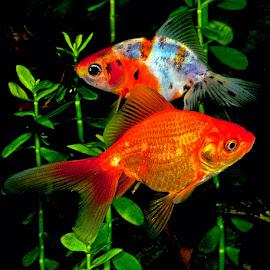 Goldfish by David Winchester - Animals Fish
