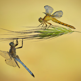 friends by Mauro Maione - Animals Insects & Spiders ( composition, dragonfly,  )
