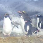 Macaroni and Gentoo penguins