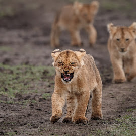 On the move ! by Andy Howe - Animals Lions, Tigers & Big Cats ( lion, african wild life, maasai mara, marsh pride, cubs, cute, africa )