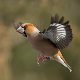 Coccothraustes coccothraustes by Dragomir Taborin - Animals Birds