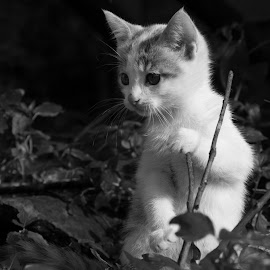 by Peter Jacoby - Animals - Cats Kittens ( cat, kitten, black & white, adorable, cute )