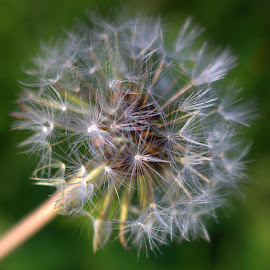 Wishes to be made by Robyn Martland - Nature Up Close Other plants ( nature, dandelion, wishes, nature up close, seeds,  )