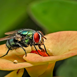 dew and fly by Muhammad Berkati - Animals Insects & Spiders ( fly, dew, nikon, flower, noise,  )