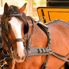 Carriage Horse by Thaddaeus Smith - Animals Horses ( carriage, horse )