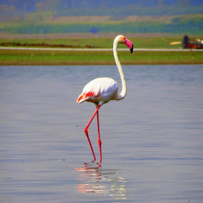 Flemingo one by Nirav Raval - Animals Birds ( bird, new, flemingo, pink, india )