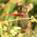 Ruddy marsh skimmer - Male