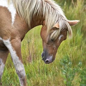 Wild pony  by Lynda Blair - Animals Horses ( wild, pony, horse, chincoteague )