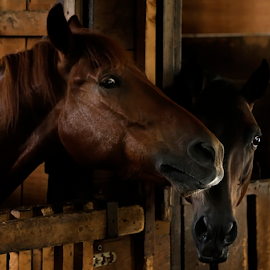 CHIT-CHAT by Viorel Plesca - Animals Horses ( viorel plesca, shed, barn, horses, stall, stabling, horse, mews, chat, stable )