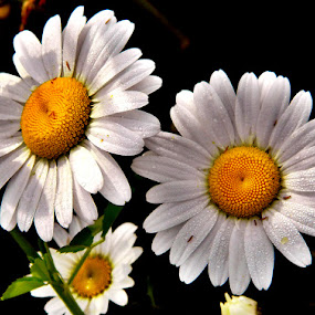 Dainty Daisies by Darcie Wright - Flowers Flowers in the Wild ( wild daisies flowers nature )