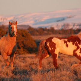 Golden Hour by Kathy Tellechea - Animals Horses ( sagebrush, filly, stallion, moutain, oregon, mustang, snow, steens, golden light, wild horses )