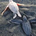 albino leatherback turtle