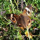 (Common) Buckeye butterfly