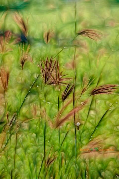 Ilalang ilalang menghalangi pandanganIlalang ilalang jadi saksi cerita malam#Machicha Mochtar by Haddy Hartono - Nature Up Close Leaves & Grasses