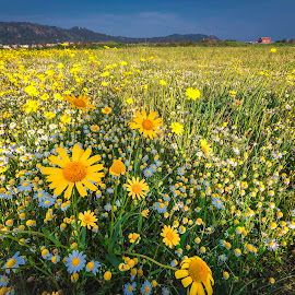 Spring Fields of Flowers by Paulo Roque - Landscapes Prairies, Meadows & Fields ( campo, 2014, aldeia, yellow, landscape, amarelo, agricola, cepães, flores, nature, esposende, flowers, portugal, paisagem )