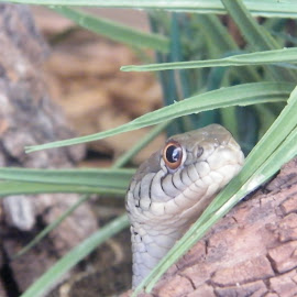 Garter snake off the path by Donna Probasco - Novices Only Wildlife (  )