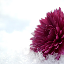Flower in the Glistening Snow by Terri Wallace - Novices Only Objects & Still Life ( beautiful, snow, snowflake, flower )