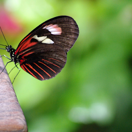 Resting Red by Jason Gaston - Animals Insects & Spiders ( butterfly, red, wings, white, black )