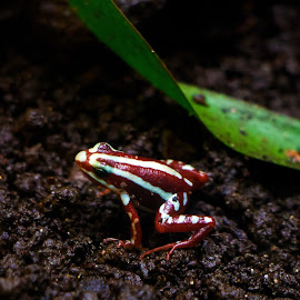 Colorful frog !!! by Kishu Sing - Animals Amphibians ( wild, frog, colors, lisbon, portugal )