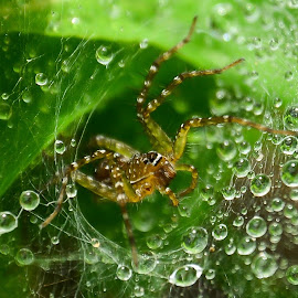 spider web by Amol Patil - Nature Up Close Webs ( green, drop, dew, web, spider )