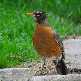 Robin by Jim Wheelock - Animals Birds ( backtard, robin, animals, birds, photography )